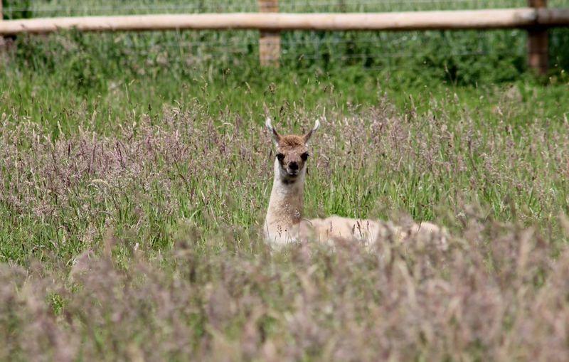 Llama In Grass