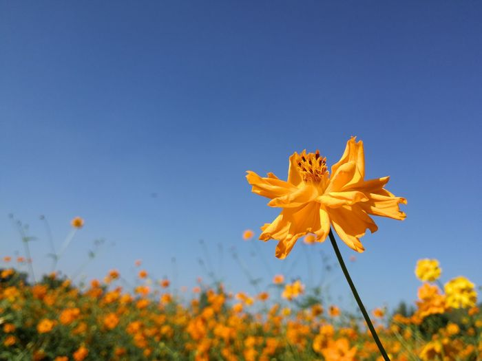 yellow flower Flower Autumn Leaf Blue Nature Outdoors Rural Scene Uncultivated Plant Summer Flower Head Fragility No People Sky Day Beauty In Nature Poppy Clear Sky Growth Close-up Beach Landscape Flying Sunset Pink Color