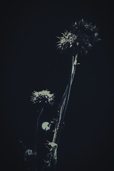 """""""Moonlight thistle"""" (2016) Thistle Flowers Night Photography In The City Stylized Heavy Filtering Moonlight Moon Rising Denver,CO"""