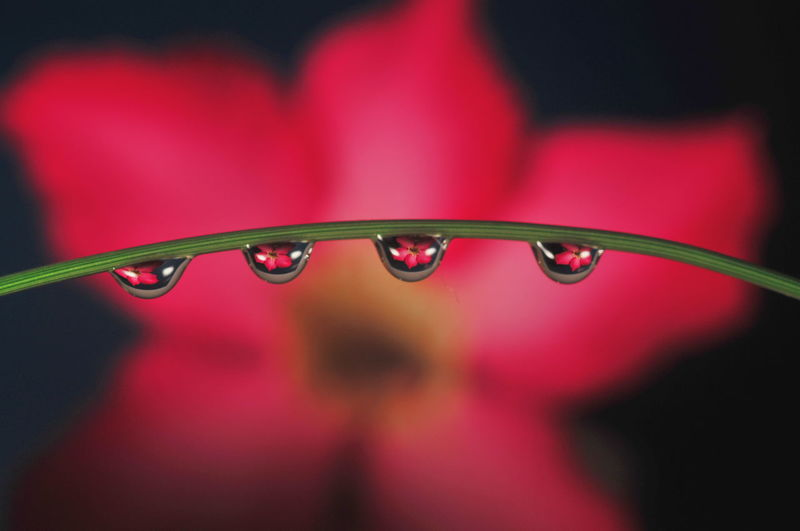 Close-up of water drops on red leaf