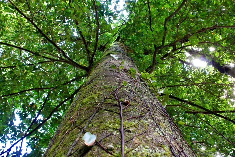 Nature Tree Nature Growth Low Angle View Tree Trunk Green Color Forest Beauty In Nature No People Outdoors Tree Canopy  Leaf Environment Tranquility Branch Day