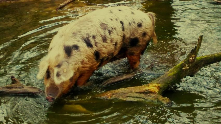 Schwein im Wasser... Water One Animal Animal Themes Lake No People Domestic Animals Nature Swimming Tierpark Schwein