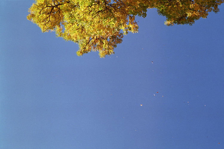 Autumn Beauty In Nature Blue Branch Clear Sky Day Fall Leaf Nature No People Outdoors Sky Tree Yellow