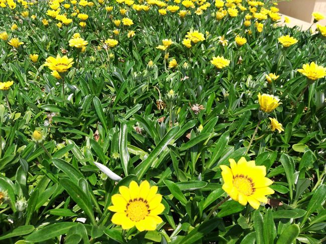I-Net Photography EyeEmNewHere Flower Head Flower Yellow Petal Field Blooming Close-up Plant Grass Green Color Black-eyed Susan In Bloom Spring Gazania Daffodil Botany Blossoming  Apple Blossom Greenery Botanical Vegetation Plant Life Focus Flora Pure Daisy Blossom Crocus Pollen
