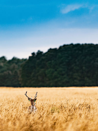 Deer on grassy land against clear sky