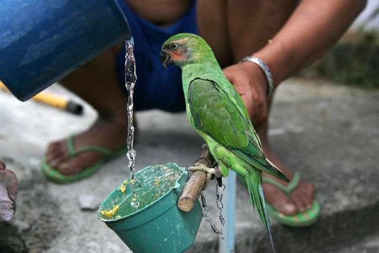 eclectus parrot (Eclectus roratus ). Electrics Pattrot Eclectus Roratus Bird Bird Photography Birds_collection Nature Animal