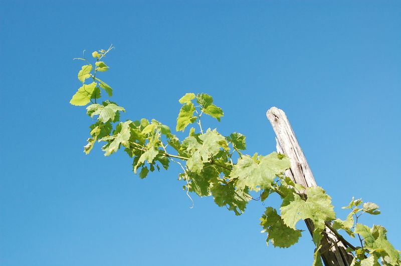 Low angle view of fresh green tree against clear blue sky