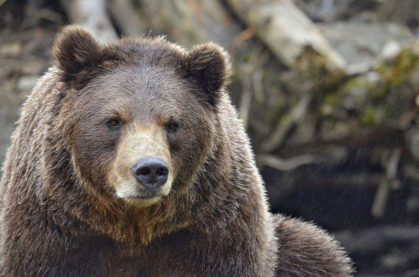 Bear sighting in Alaska Animal Head  bear brown Mammal Animal