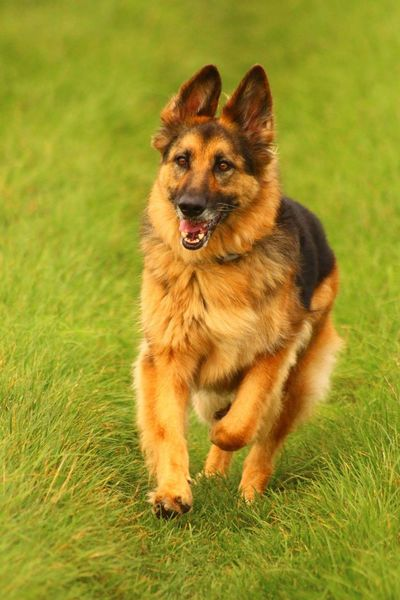 Dog❤ Dogslife Ilovedogs Photography In Motion German Shepherd Schäferhund Beauty In Nature Pets One Animal Animal Themes Happiness