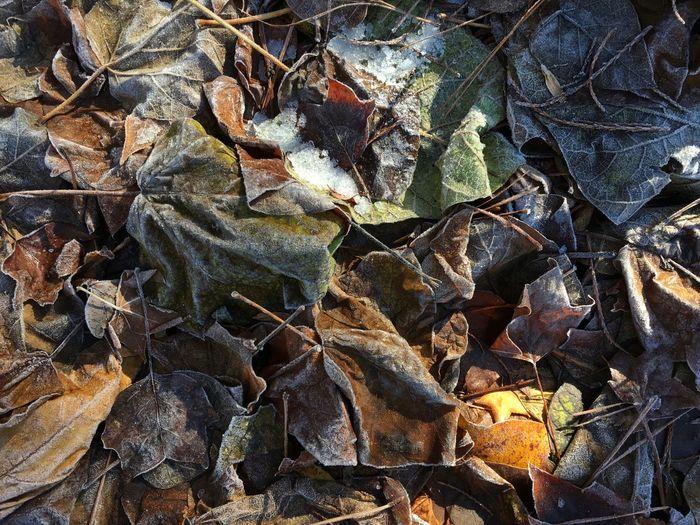 IPSWeather Leaves Frost Frosty Frosty Leaves Frosty Mornings Twain Harte, CA