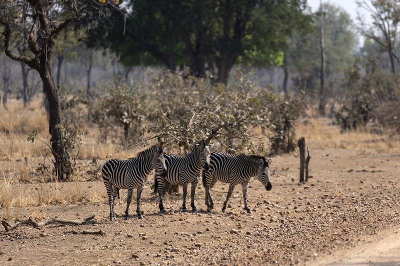 Zebras in a horse