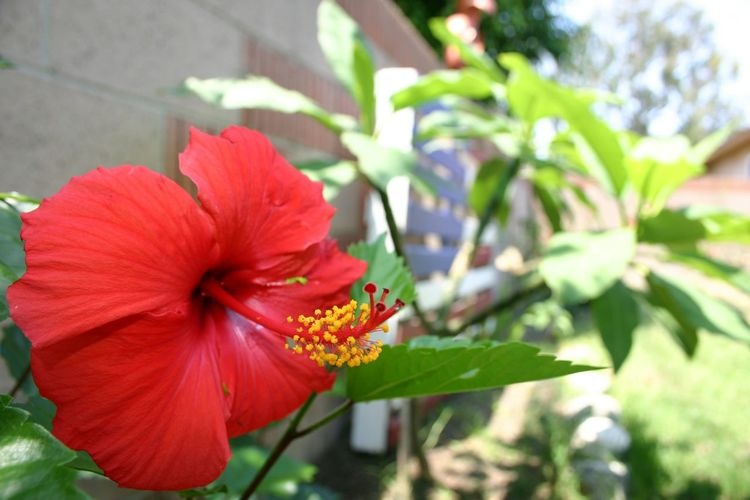 Backyard Photography Hibiscus No People No Filter Nature Backyard Jungle Focus US Flag Pallet Art Plumeria Asparagus Fern Plants And Flowers Outdoors Beauty In Nature Garden Close-up Flower Backyard