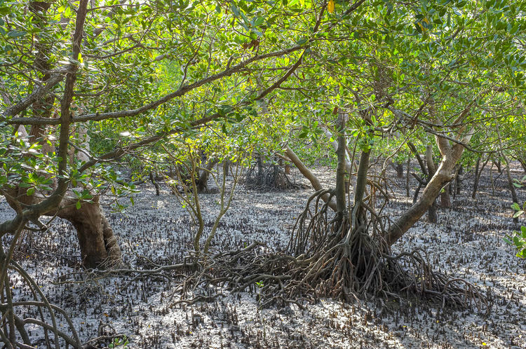 Mangrove at low tide at East Point Reserve in Darwin, Northern Territory, Australia. Australia East Point Darwin Australia East Point Reserve Ecosystem  Fragile Ecosystem Rhizophoraceae Environment Growth Halophytes Mangrove Mangrove Roots Nature No People Outdoors Plant Rhizophora Tranquility Tree My Best Travel Photo