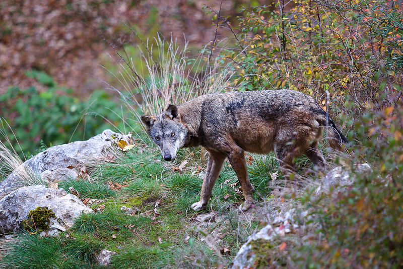 Coyote walking on rock formation by plants in forest