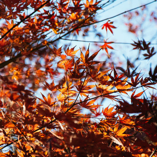 Maple tree turns red. Beauty of autumn season. Japan Photography Japanese  Autumn Beauty In Nature Branch Change Close-up Day Fall Fragility Growth Leaf Low Angle View Maple Maple Leaves Maple Tree Nature No People Outdoors Sky Tranquility Tree