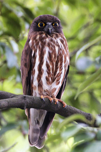 Animal Animal Themes Animal Wildlife Animals In The Wild Bird Bird Of Prey Branch Close-up Day Eagle Focus On Foreground Nature No People One Animal Outdoors Owl Perching Plant Portrait Tree Vertebrate