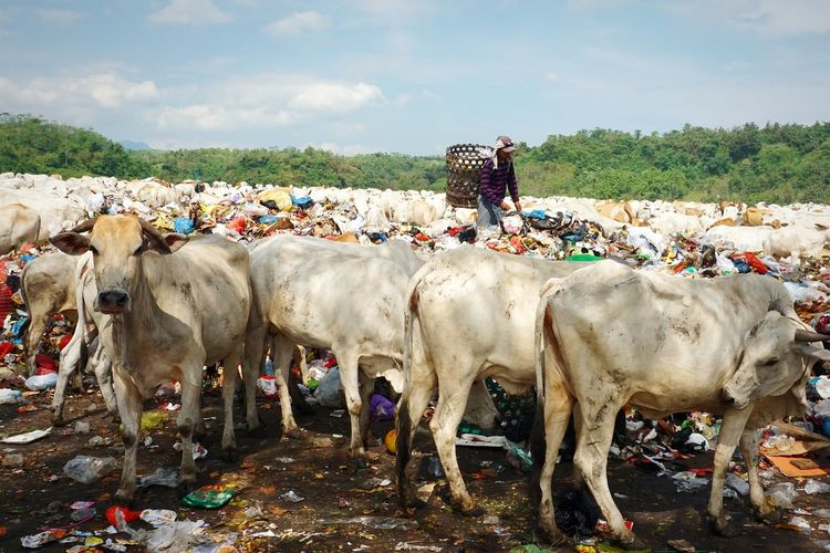 People standing with cows