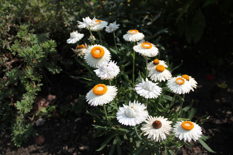 Beauty In Nature Blooming Botany Close-up Daisy Day Elevated View Flower Flower Head Focus On Foreground Fragility Freshness Green Color Growing Growth In Bloom Nature No People Outdoors Petal Plant Pollen Selective Focus White Color