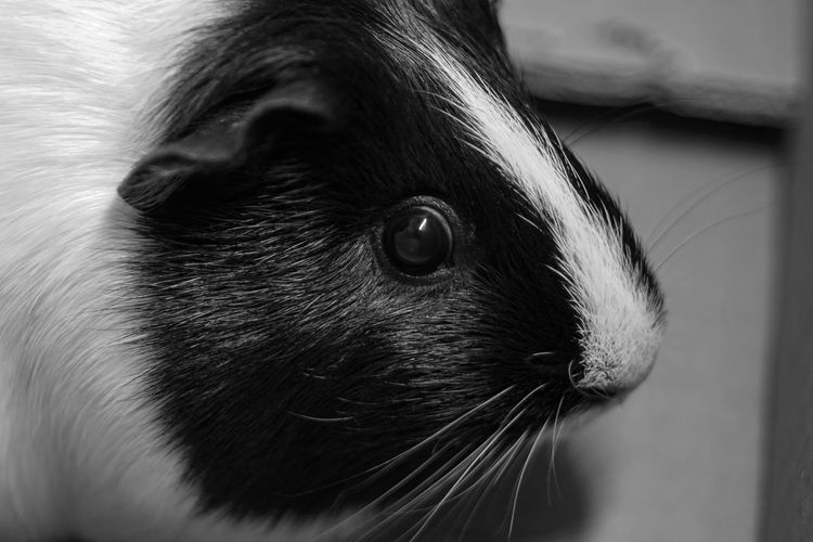 Animal Animal Body Part Animal Eye Animal Head  Animal Themes Animal Wildlife Close-up Day Domestic Domestic Animals Focus On Foreground Guinea Pig Herbivorous Indoors  Mammal No People One Animal Pets Rodent Selective Focus Vertebrate Whisker