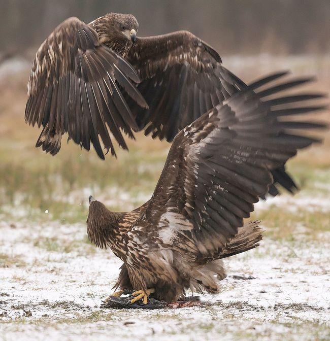 Bird Spread Wings Animals In The Wild Animal Themes Animal Wildlife One Animal Bird Of Prey