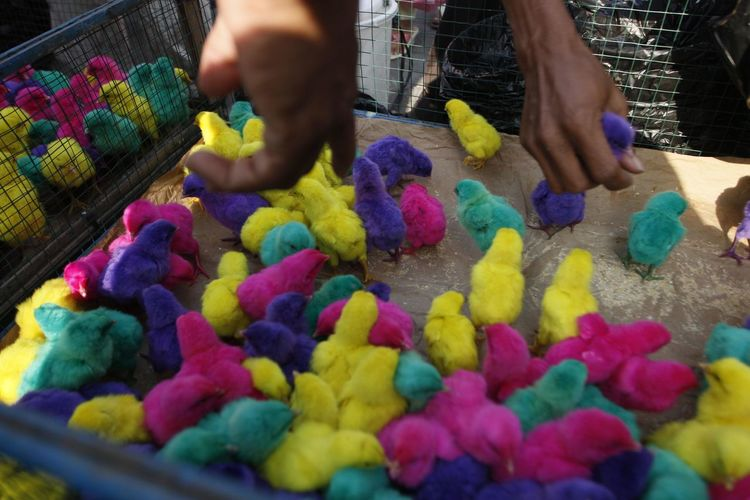 Colorful chickens in Indonesia. Multi Colored Human Hand Hand Food Food And Drink Human Body Part One Person Selective Focus Abundance Choice Variation Indoors  Sweet Food Day Easter Sweet In A Row Large Group Of Objects Candy
