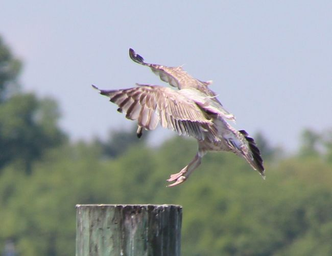 Animal Themes Bird With Wings Spread coming in for a landing One Animal Mid-air No People Focus On Foreground