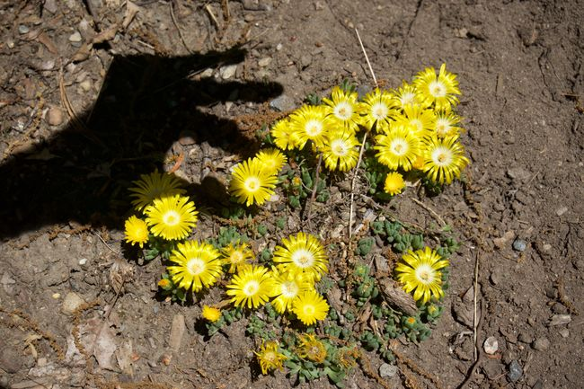 Earth Flowers Human Hand ICE PLANT Picking Flowers  Shadow Shadowplay Soil On The Ground Yellow Flowers