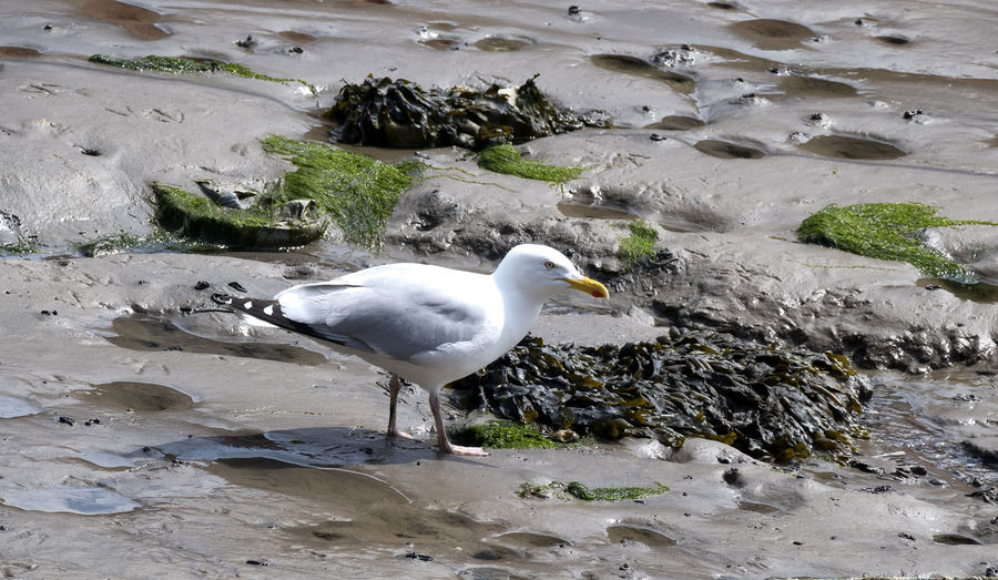 Full length shot of a seagull walking on mud