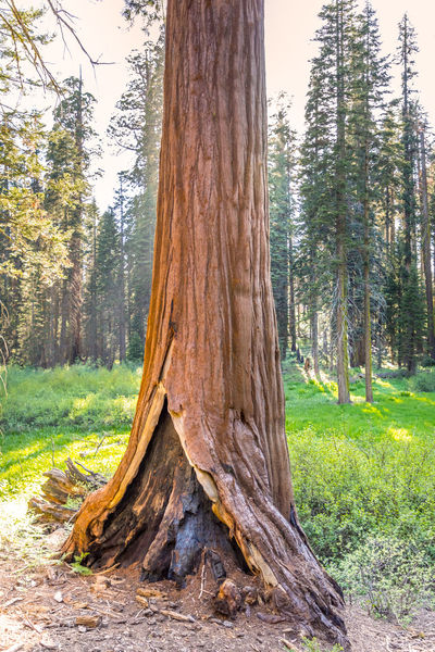 Sequoia National Park, Crescent Meadows California National Park Sequoia Sequoia National Park Tree USA Bark Beauty In Nature Day Environment Field Forest Grass Growth Land Landscape Nature No People Non-urban Scene Outdoors Plant Scenics - Nature Tranquil Scene Tranquility Tree Tree Trunk Trunk