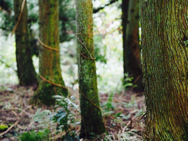 大多喜 養老渓谷 Japan Tree Trunk Nature Forest Tree Growth Tranquility Day Outdoors No People Beauty In Nature Close-up