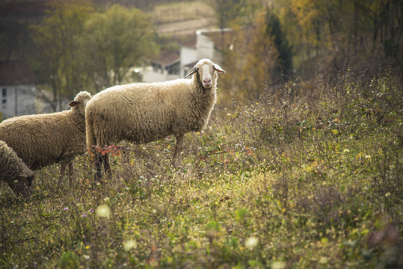 Sheep grazing grass in an open summer field Animal Themes Beauty In Nature Day Domestic Animals Field Grass Growth Lamb Livestock Mammal Nature No People Outdoors Sheep Standing Tree