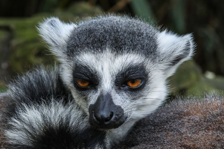 Rockabye baby Nature Photography Nature_collection Nature Maki Lemur Animal Wildlife Animals In The Wild One Animal Portrait Close-up Lemur Mammal Looking At Camera Vertebrate Primate Nature Animal Eye