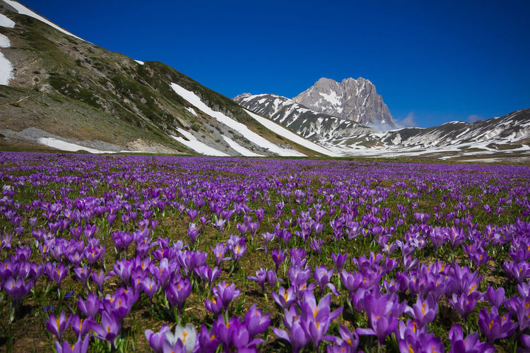 Purple Flowering Plants By Mountains Against Blue Sky