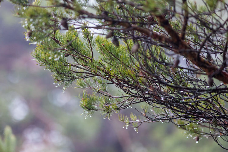 Beauty In Nature Cold Day Fog Moisture Nature Outdoors Pine Tree Pinecones Seaside Sweden Water Drops Wet Winter
