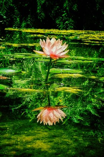 To Know Thyself Mirror Reflections Flower Head Flower Leaf Close-up Plant Green Color In Bloom Blossom Blooming