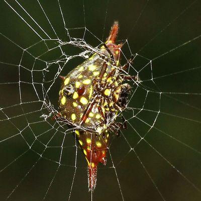 Diagonal spider back side. Spider Spiderworld Ig_spiders Ig_spider tgif_insects tgif_macro alalamiya_macro bns_macro igglobalmacroclub