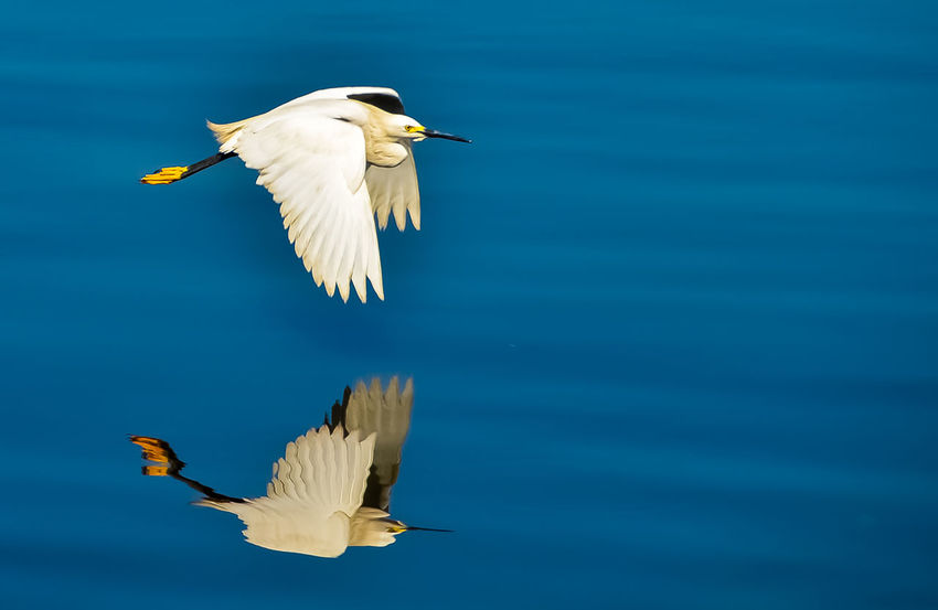 Animal Themes Animal Wildlife Animals In The Wild Beauty In Nature Bird Blue Day Flying Lake Mid-air Nature No People One Animal Outdoors Spread Wings Water