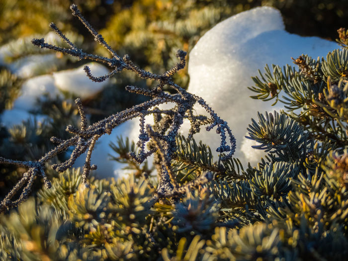 Freshness Frozen Growth Ice Plant Snow ❄ Sunlight Tranquility Wilderness Area Beauty In Nature Branch Canada Cold Temperature Evergreen Fir Outdoors Snow Wilderness Yukon Territory
