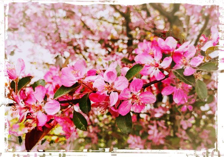 Springtime Spring Flowers Springtime Blossoms Flower Head Tree Flower Branch Springtime Leaf Pink Color Petal Blossom Botany