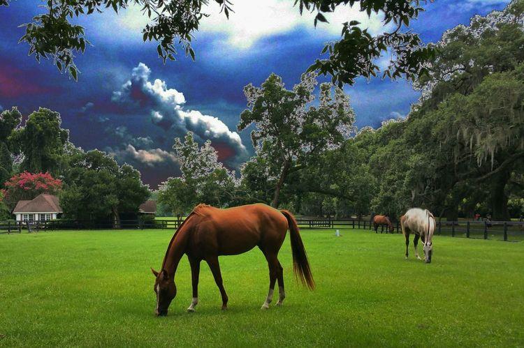 Boonehallplantation Plantation Horses Colorful Sky Southcarolina Charleston Oak Trees Farm Notes From The Underground nature