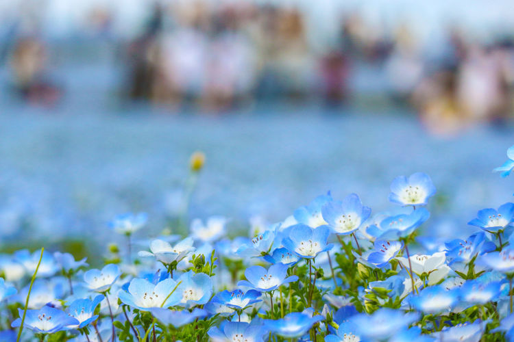 blue nemophila flowers land at hitachi seaside park on spring season with blurred crowd tourist as background. Area ASIA Background Beautiful Beauty Bloom Blooming Blossom Blue Bouquet Color Day Famous Farm Field Flora Floral Flower Garden Green Hill Hitachi Hitachinaka Ibaraki Japan Landscape Life Light Natural Nature Nemophila Outdoor Park Place Plant Rural Seaside Season  Sightseeing Sky Space Spring Stem Summer Tourism Tourist Travel View White Yard