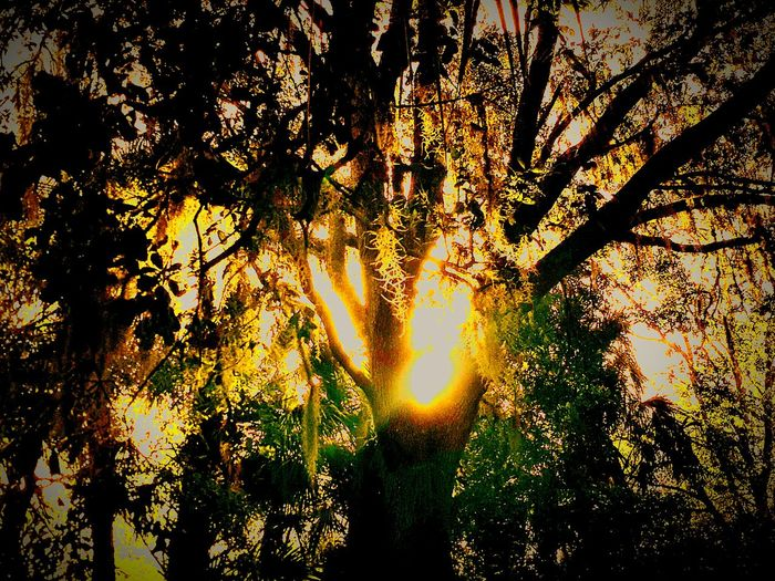 """Golden Sun Through Tree"" Goldensunthroughtree Busy Forest Tree Nature Sunlight Growth Sunrise Environment Sunbeam Yellow Gold Colored Beauty In Nature Tranquility Low Angle View Outdoors Branch Backgrounds Horizontal Scenics Refraction Sky"