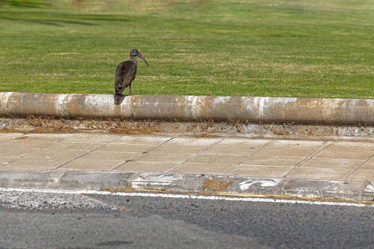 Hadeda ibis,
