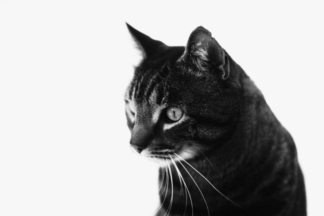 Pan F Analog EyeEm Selects Domestic Cat One Animal Pets Feline Animal Themes Domestic Animals White Background Mammal Portrait Animal Head  Whisker No People Studio Shot Close-up Day