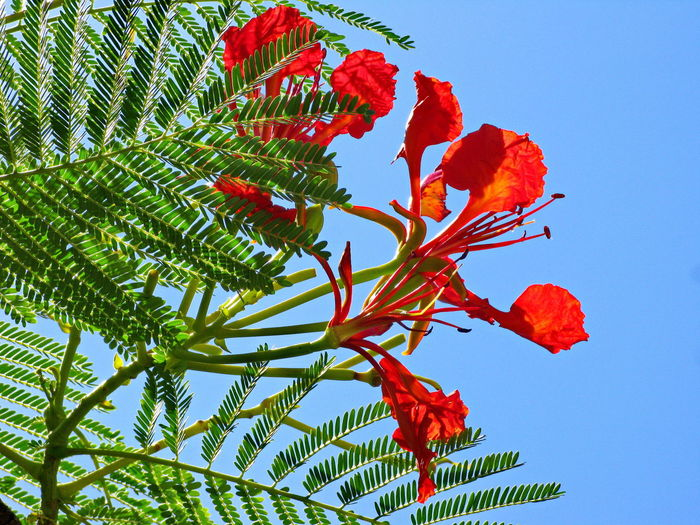 Mimosa Africa