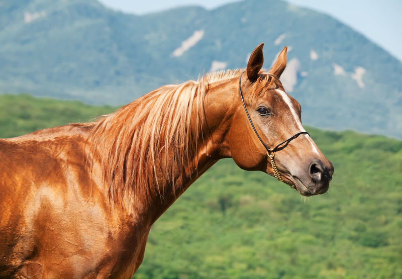 Animal Themes Beauty In Nature Bridle Brown Close-up Day Domestic Animals Hoofed Mammal Horse Landscape Livestock Mammal Mane Mountain Nature No People One Animal Outdoors Scenics Standing Working Animal