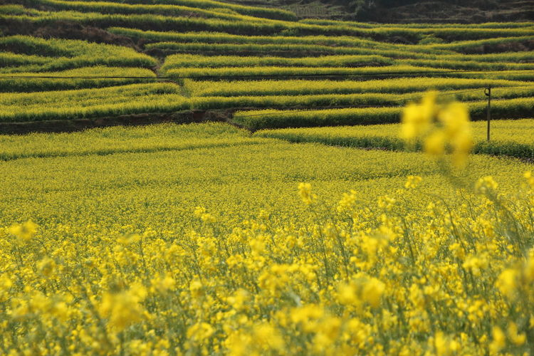 Full frame shot of yellow flowers growing in field