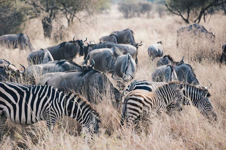Herd of zebras and wildebeest in field