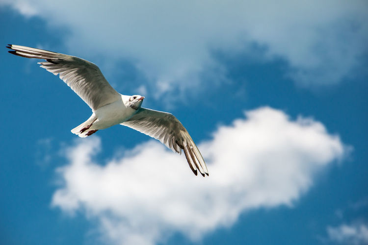 A flying sea gull in the blue sky with white clouds Flying Animal Wildlife Animals In The Wild Bird Animal Animal Themes Spread Wings Vertebrate Sky Cloud - Sky Mid-air One Animal Low Angle View Nature Motion Seagull No People Day Beauty In Nature Outdoors