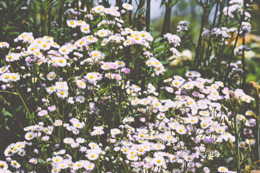 Abundance Abundance Of Flowers Beauty In Nature Daisy Like Flowers Nature Wildflowers